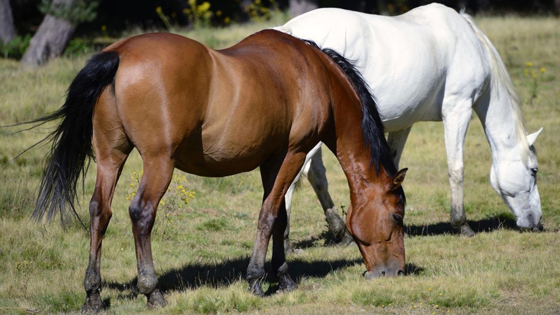Equine Flu: Thoroughbred Bloodstock Breeding In South Africa